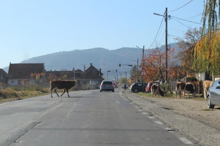 Romanian cows