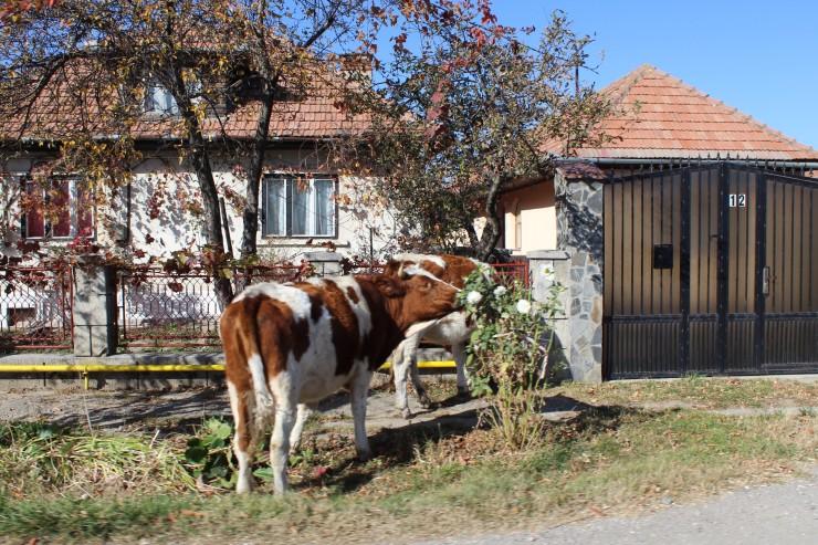 Romanian cow