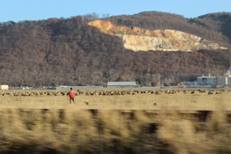 Romanian sheep